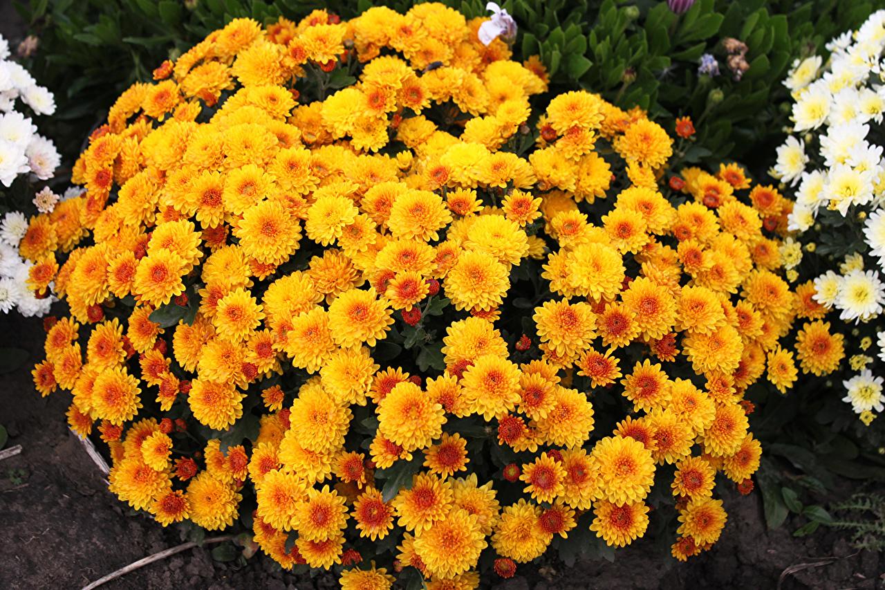 Фото оранжевая цветок Хризантемы Много Оранжевый оранжевые оранжевых Цветы