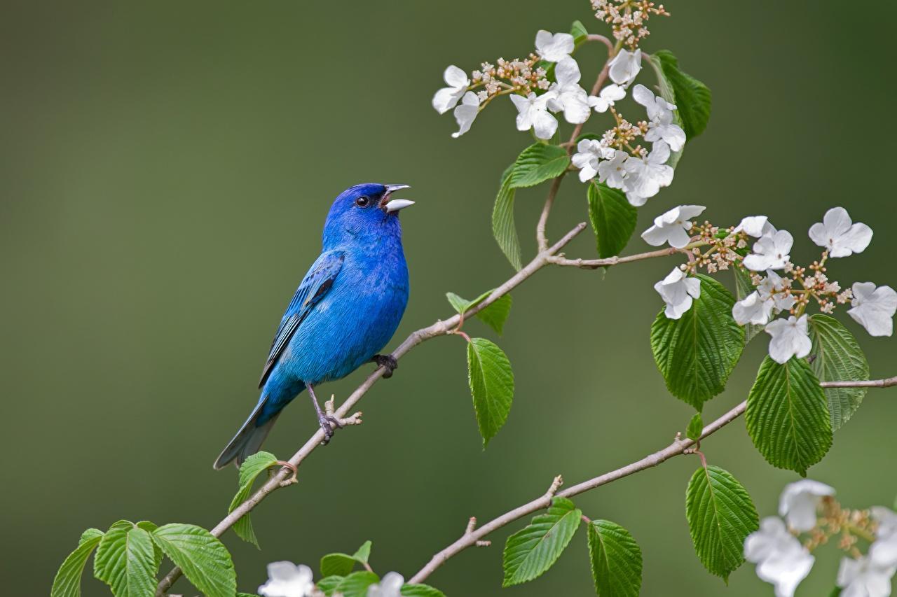 Фотография Птицы Indigo bunting Синий ветвь животное птица синих синие синяя Ветки ветка на ветке Животные