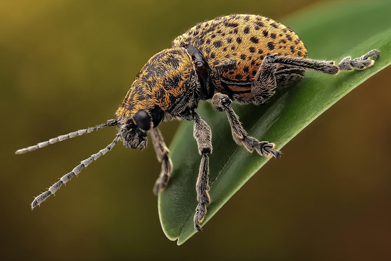 Фотографии Жуки насекомое chrysomelinae вблизи Животные Насекомые животное Крупным планом
