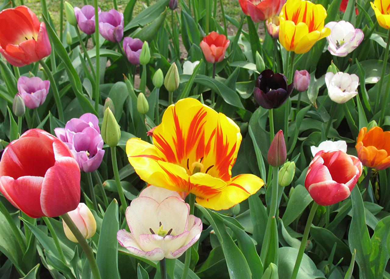 Фотография Разноцветные Тюльпаны Цветы тюльпан цветок