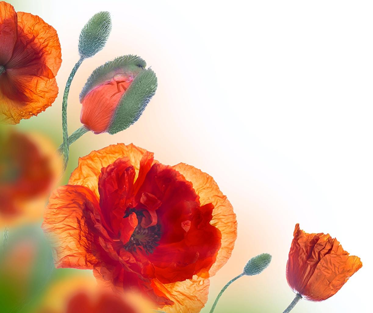 Картинка Красный Маки цветок Бутон Крупным планом красная красные красных мак Цветы вблизи