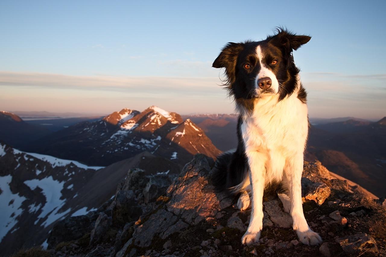 Фотография Бордер-колли Собаки гора Небо животное собака Горы Животные