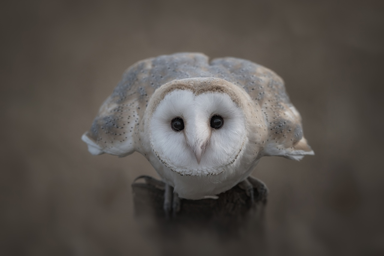 Обои для рабочего стола сова птица Barn owl Животные Крупным планом совы Птицы Совообразные вблизи животное