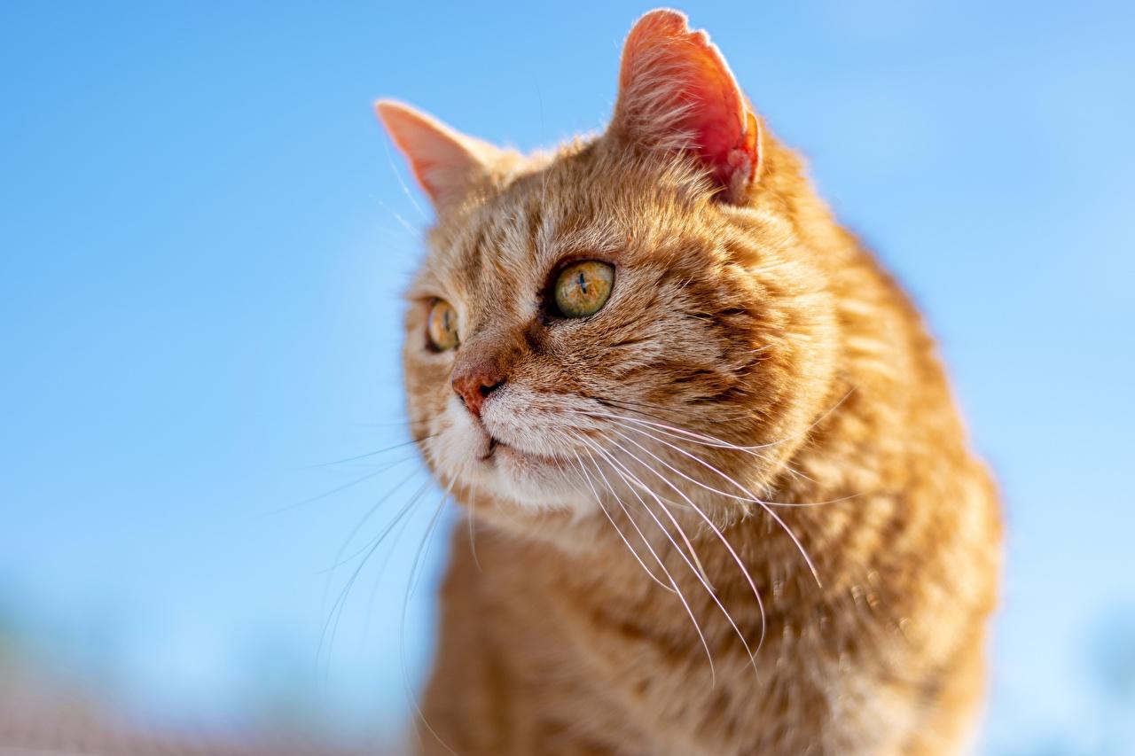 Обои для рабочего стола Кошки рыжая Усы Вибриссы вблизи Голова Взгляд животное кот коты кошка Рыжий рыжие головы смотрит смотрят Животные Крупным планом