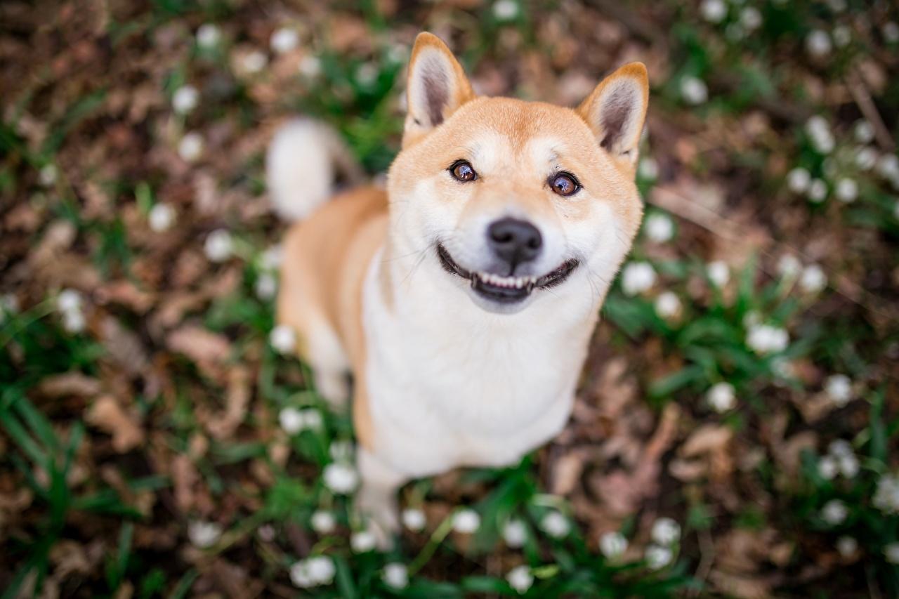 Обои для рабочего стола собака улыбается боке смешной милый животное Собаки Улыбка смешная Смешные забавные Размытый фон милая Милые Миленькие Животные