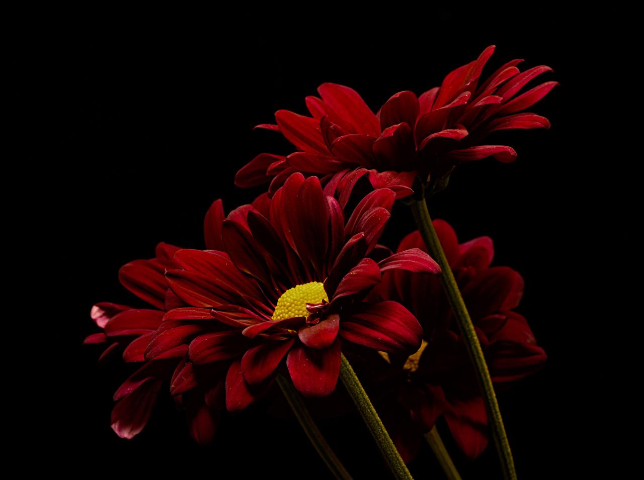 Фото темно красный Цветы Хризантемы Черный фон Крупным планом бордовая бордовые Бордовый цветок вблизи на черном фоне