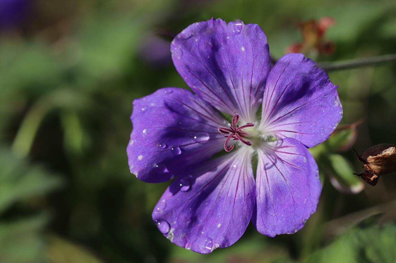 Картинка Размытый фон фиолетовая Цветы Капли журавельник Крупным планом боке Фиолетовый фиолетовые фиолетовых капля Герань капель цветок капельки вблизи