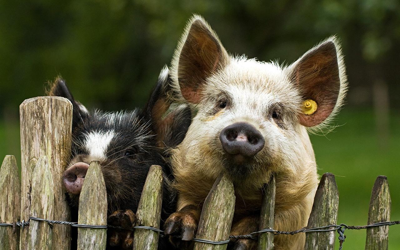 Фото свиней фотографии свиней