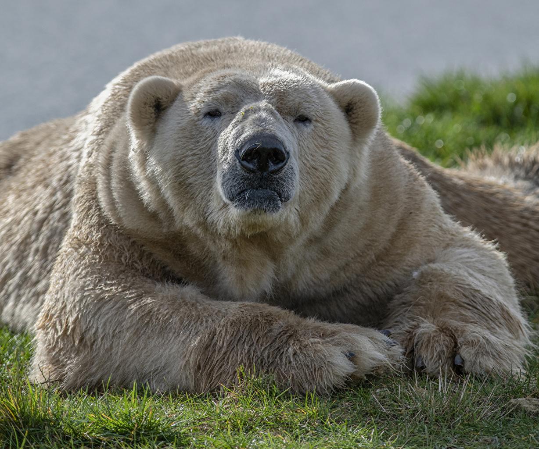Фотография северный медведь лап Морда Животные полярный Белые Медведи Медведи Лапы морды животное
