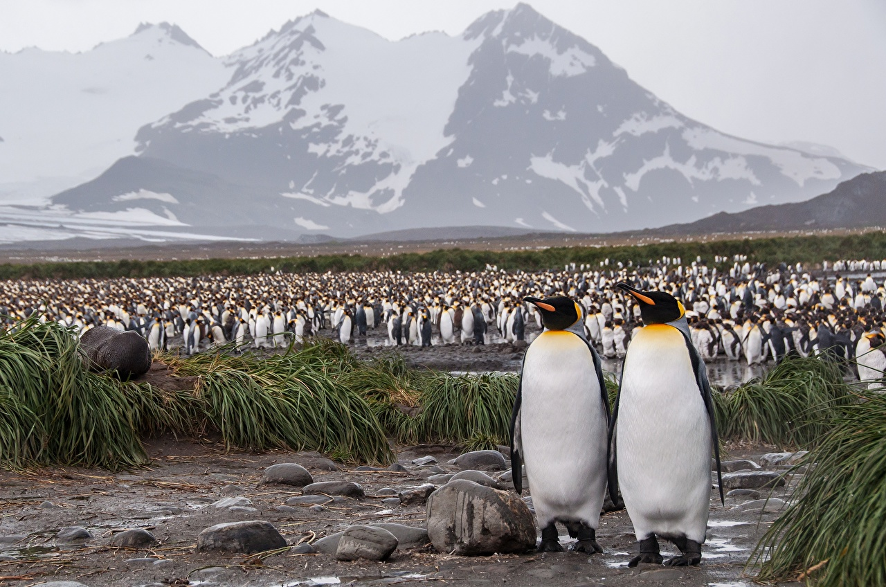 Фотография Пингвины Antarctica King penguin Много животное Животные