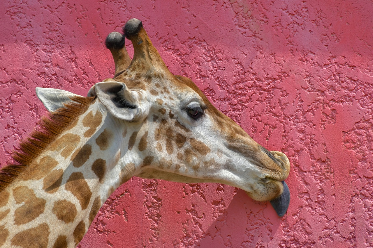 Картинки Жирафы стенка Голова Животные Крупным планом жираф Стена стены стене вблизи головы животное