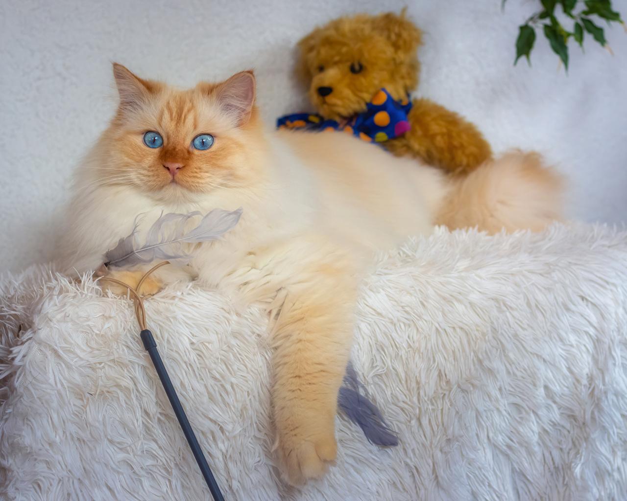 Фотография кошка Мишки животное кот коты Кошки Плюшевый мишка Животные