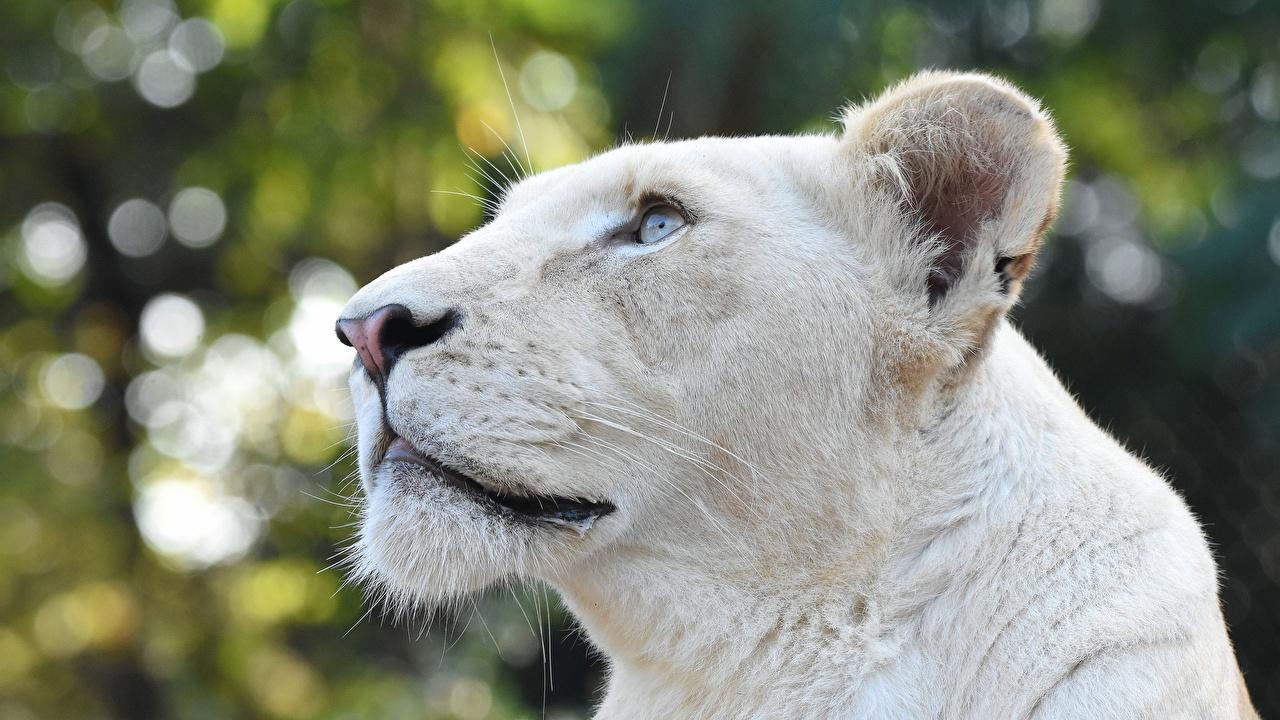 Фотография лев Львица Белый головы смотрят животное Львы белая белые белых Голова Взгляд смотрит Животные