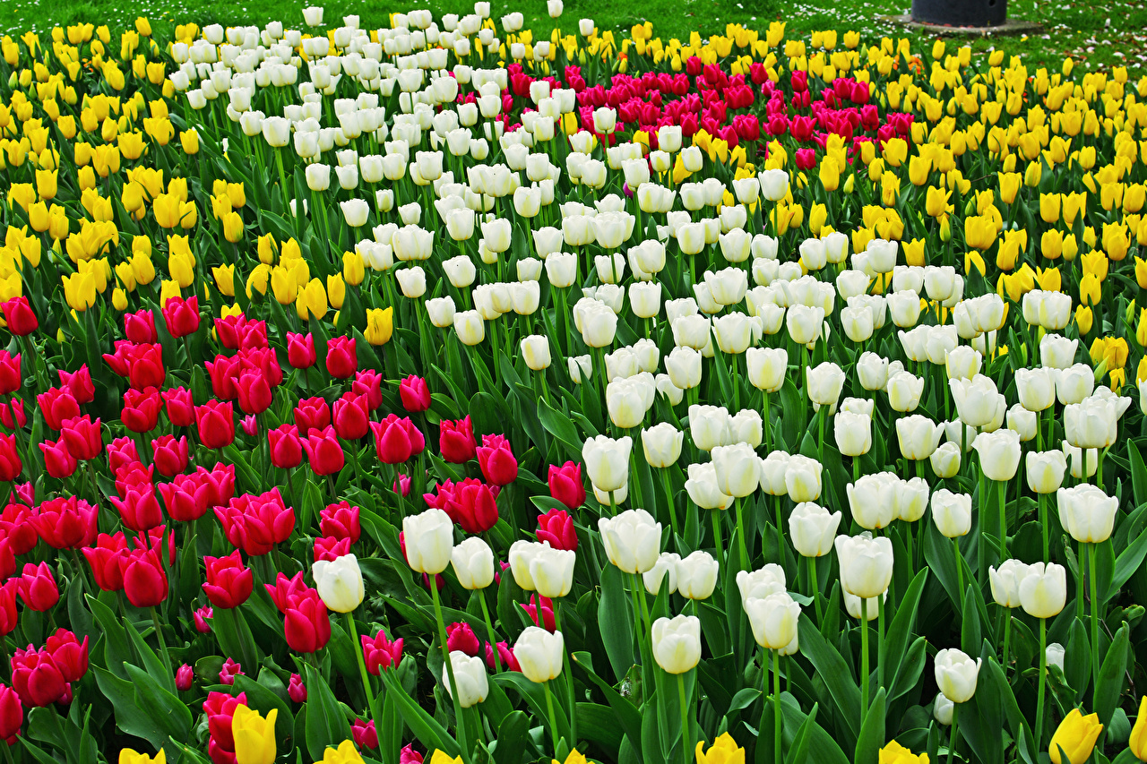 Картинка Тюльпаны Цветы Много цветок