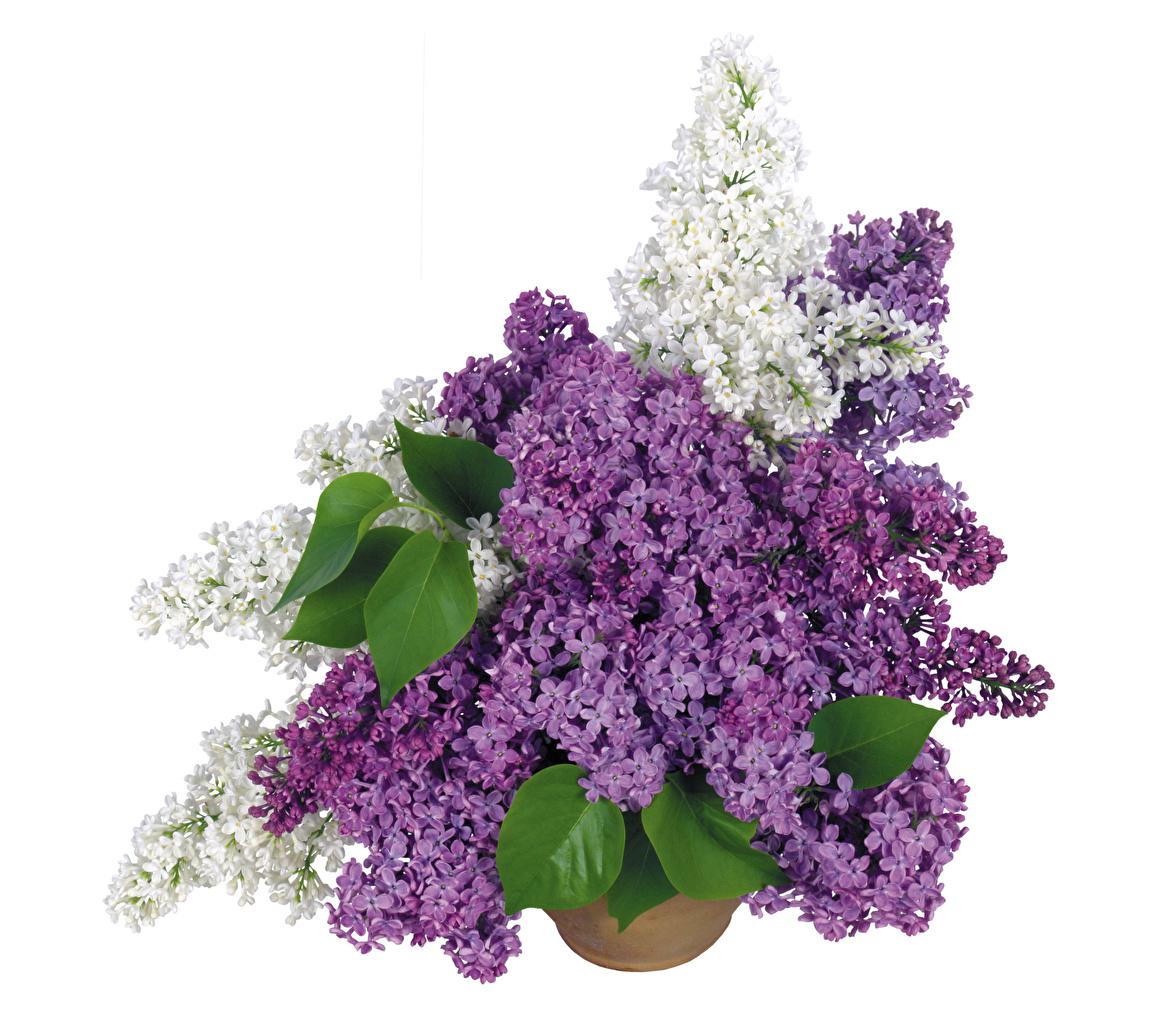 Картинки букет цветок Сирень белом фоне Букеты Цветы Белый фон белым фоном