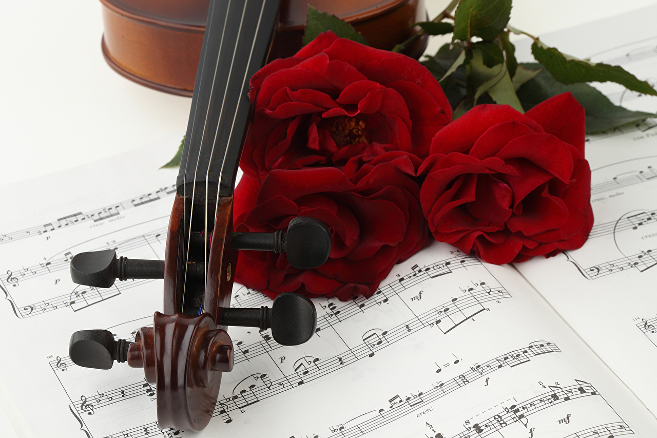 Фотография Ноты роза Бордовый Цветы втроем Розы бордовые бордовая темно красный цветок три Трое 3