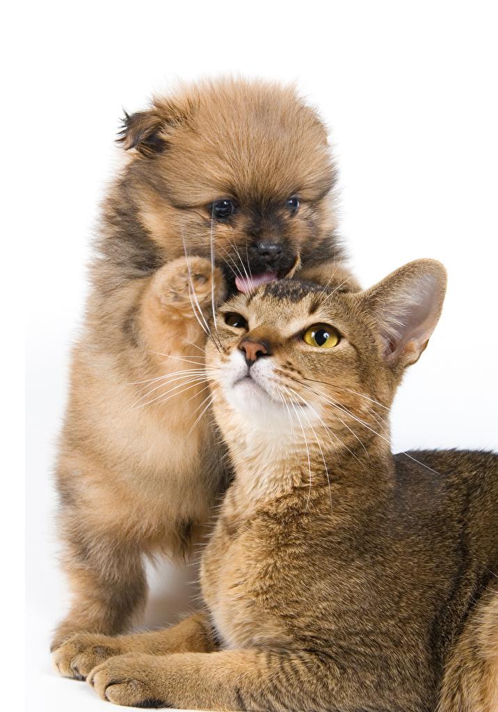 Фото Щенок Кошки Собаки Двое Животные Белый фон Коты 2 вдвоем