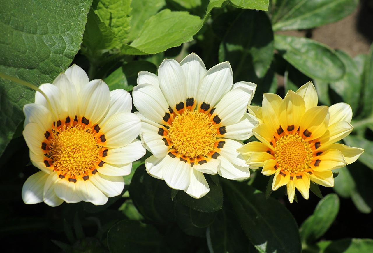 Картинка Цветы Газания три Крупным планом цветок Трое 3 втроем вблизи