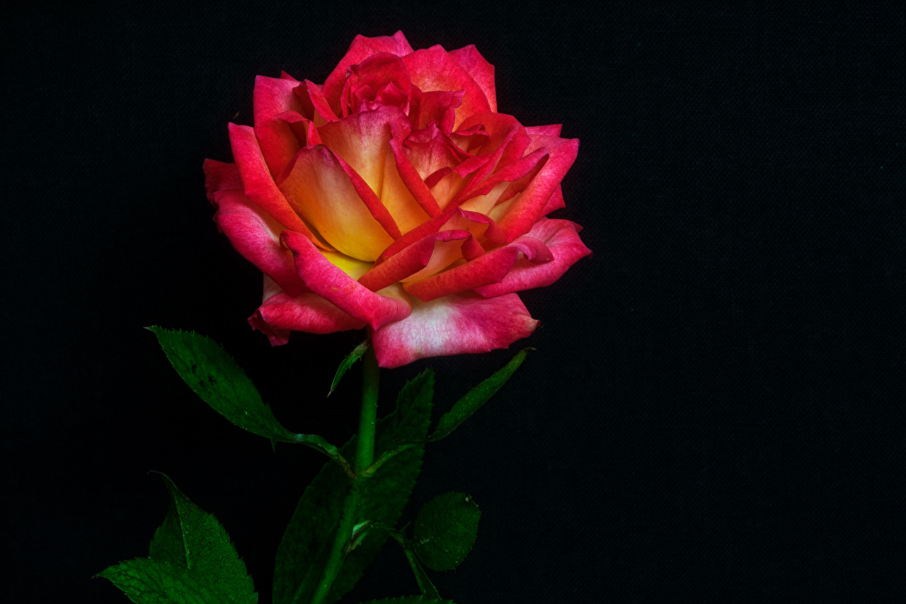 Фотография роза красные цветок вблизи на черном фоне Розы красных красная Красный Цветы Черный фон Крупным планом