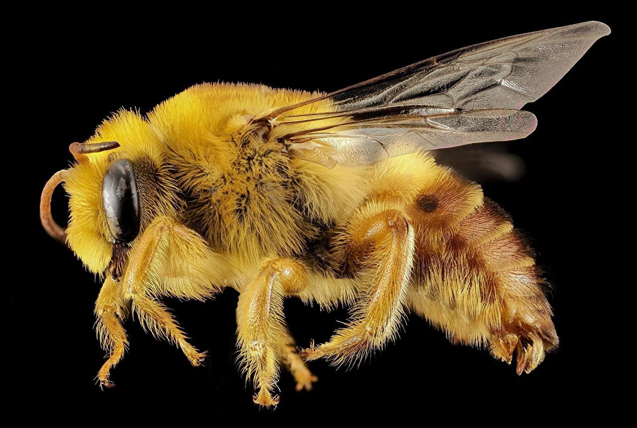Картинка Пчелы насекомое Макро животное Черный фон Крупным планом Насекомые Макросъёмка вблизи Животные на черном фоне