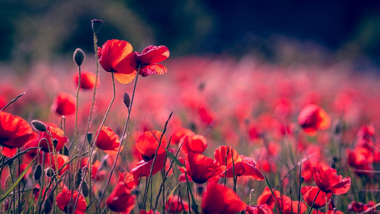 Картинки Размытый фон красных Маки Цветы Бутон боке Красный красные красная мак цветок