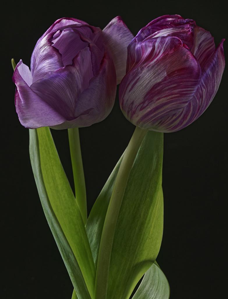 Фотографии вдвоем Тюльпаны Цветы Черный фон Крупным планом 2 два две Двое вблизи на черном фоне