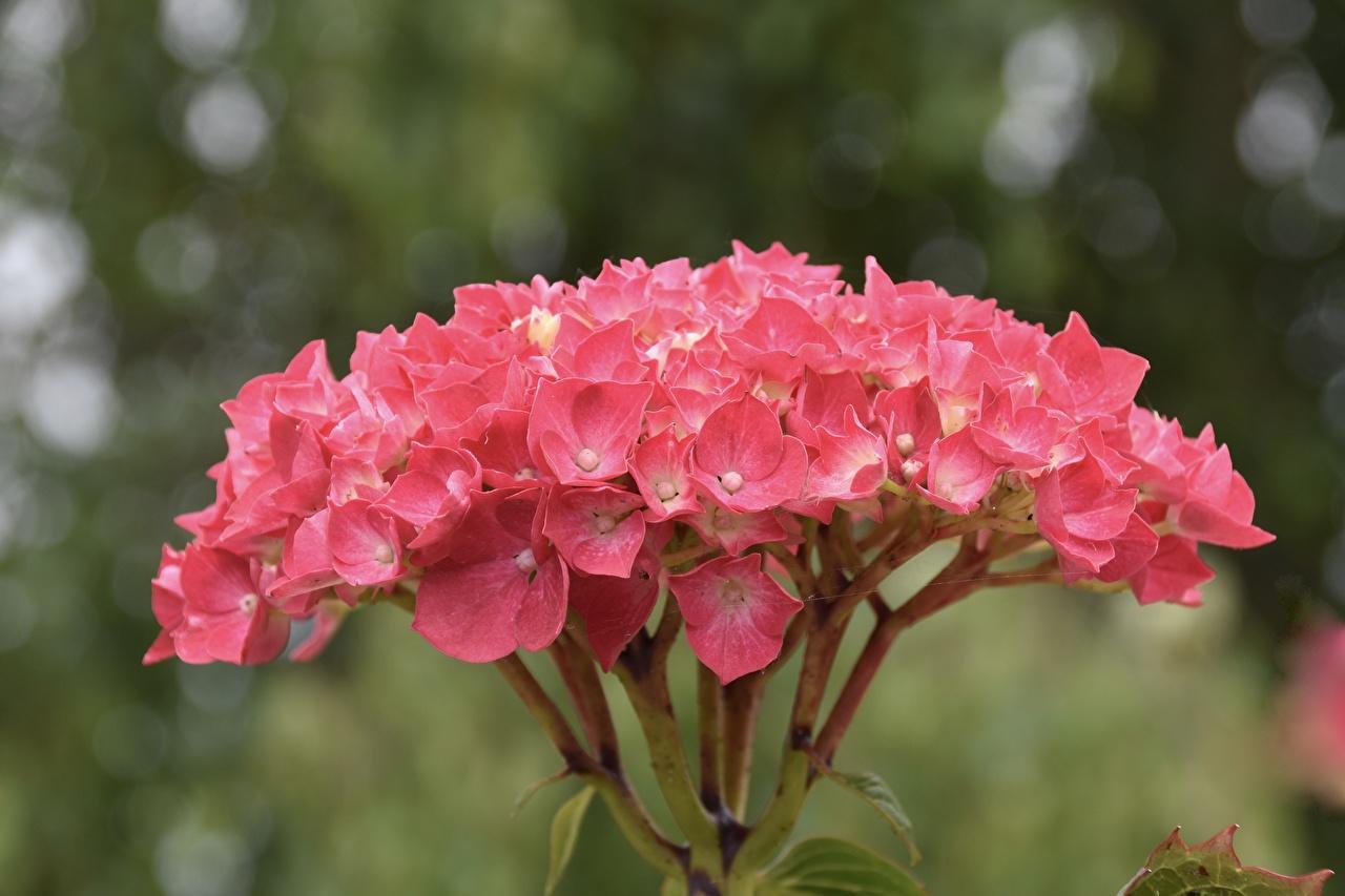 Фотография боке розовая цветок Гортензия Крупным планом Размытый фон розовых розовые Розовый Цветы вблизи