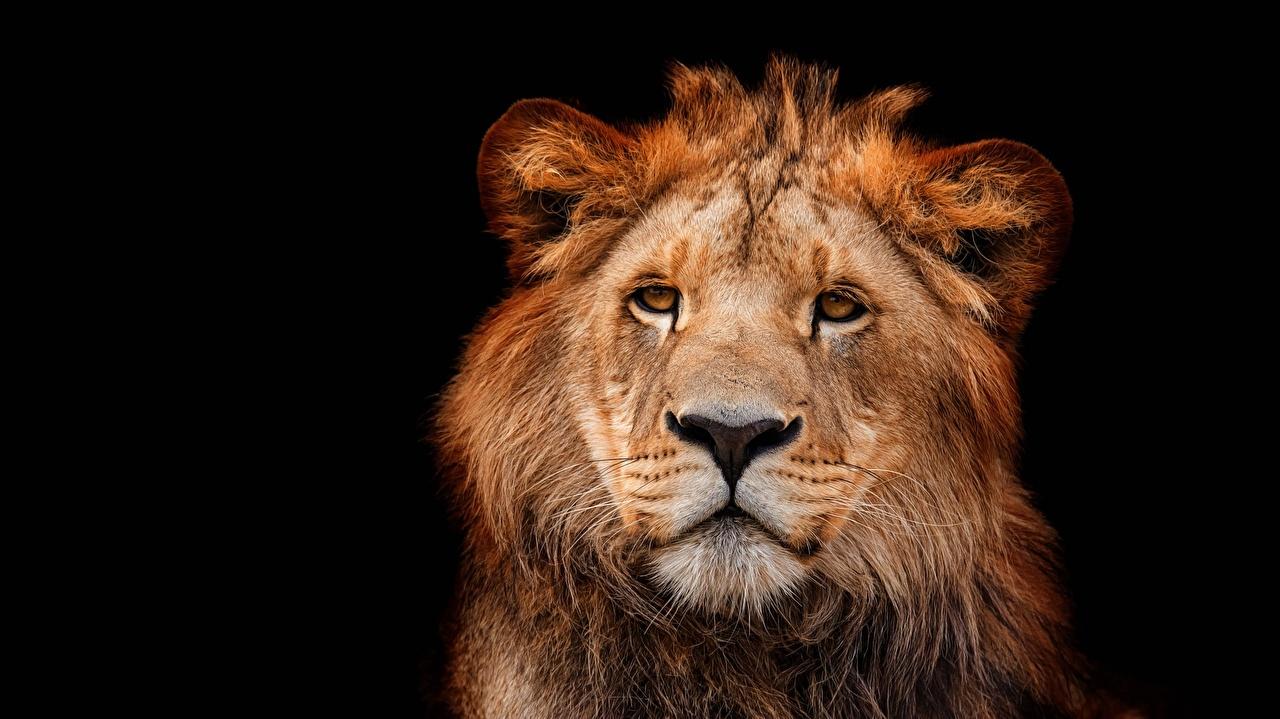 Фотография лев морды Взгляд Животные на черном фоне Львы Морда смотрят смотрит животное Черный фон
