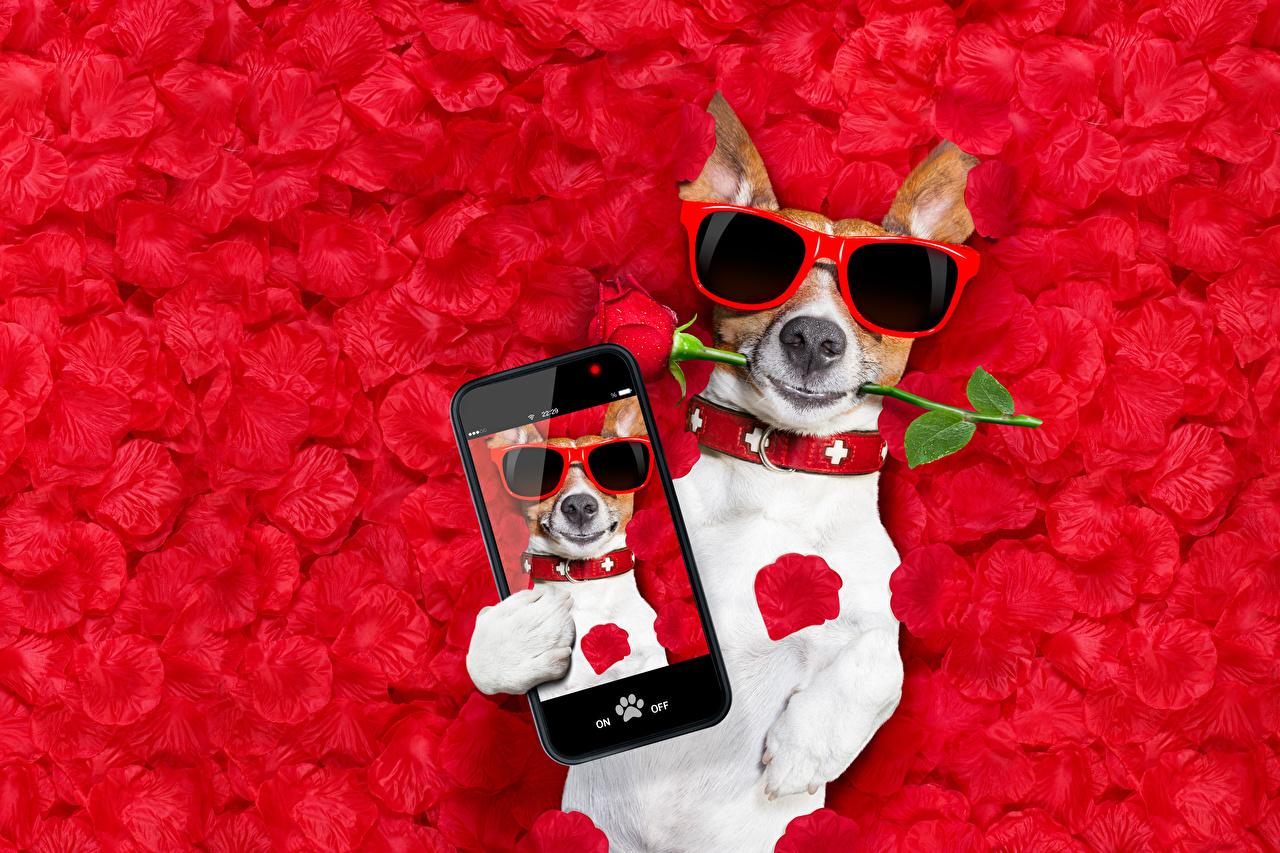 Фотография Джек-рассел-терьер собака сматфоном смешная роза лепестков очках Животные Красный фон Собаки Смартфон смартфоны смешной Смешные забавные Розы Лепестки Очки очков животное красном фоне