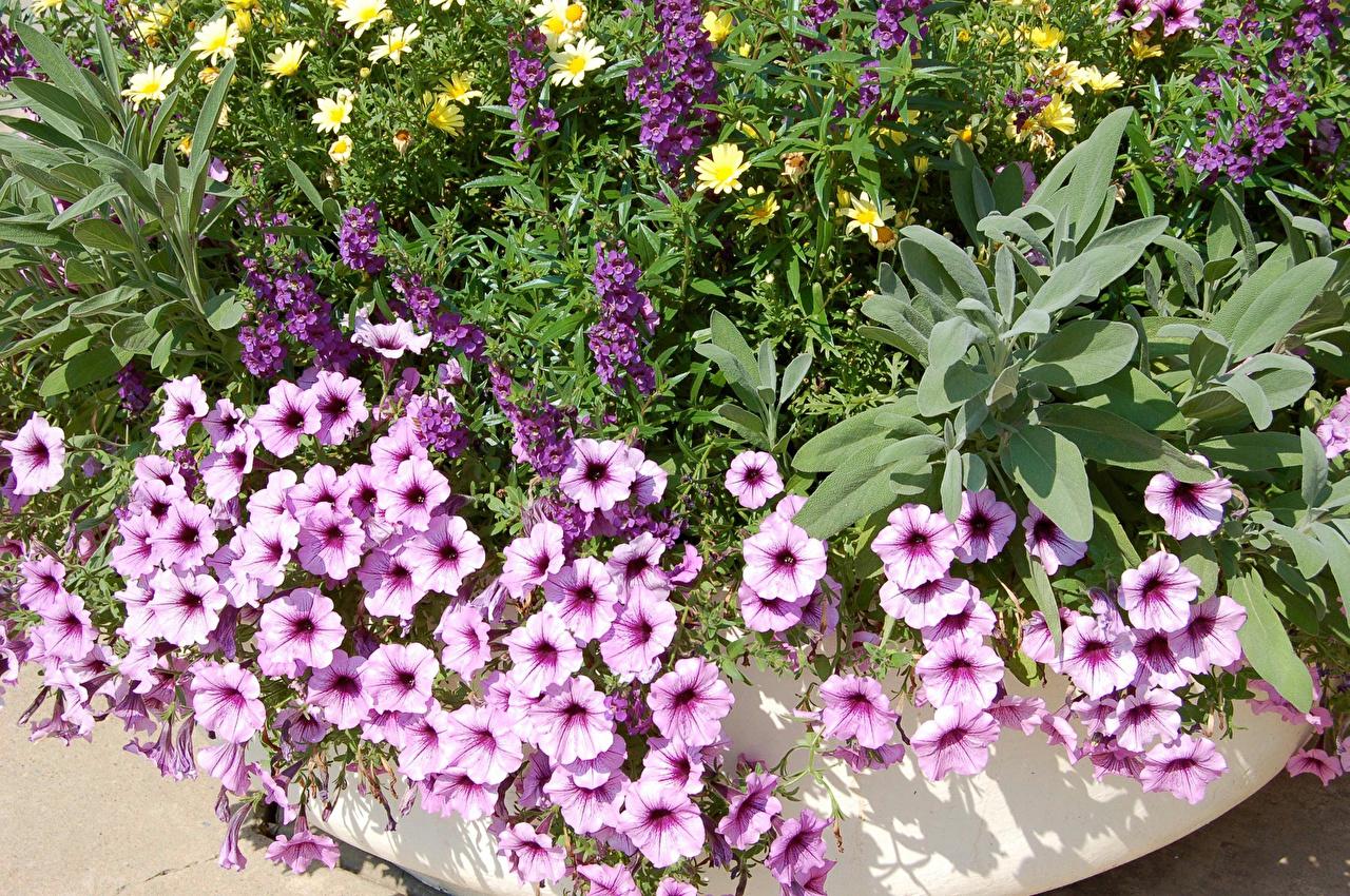 Фото цветок петуния Цветы Петунья