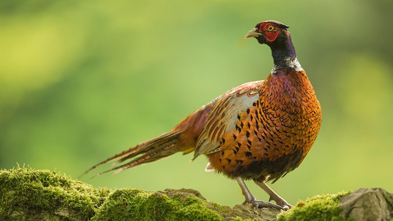 Фотография птица Common pheasant Животные Птицы животное