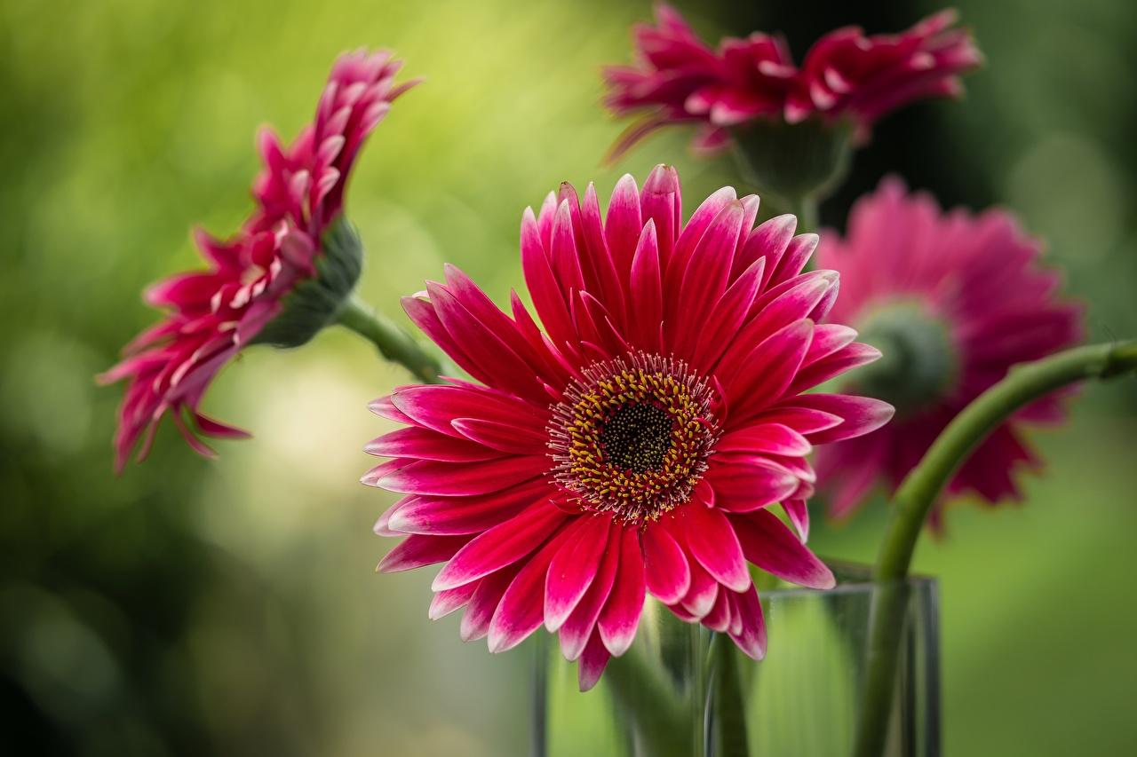 Фотографии Размытый фон красная Герберы Цветы вблизи боке красных красные Красный гербера цветок Крупным планом