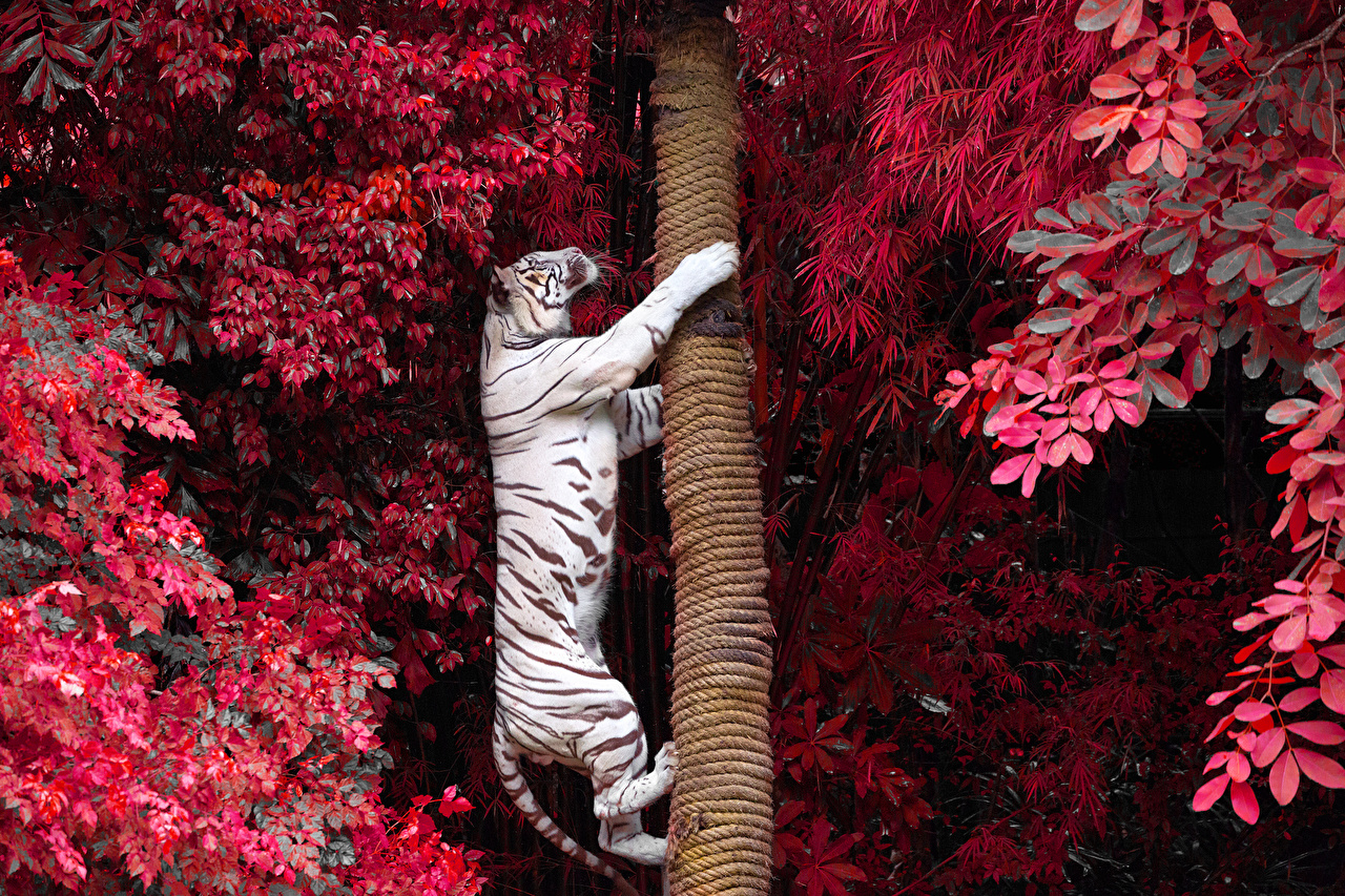 Фотография тигр Большие кошки белая Ствол дерева животное Тигры Белый белые белых Животные
