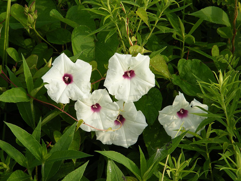 Фото белые Вьюнки цветок белая Белый белых Цветы