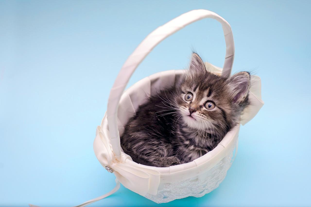 Фотографии котенок коты Корзинка животное котят Котята котенка кот Кошки кошка Корзина корзины Животные