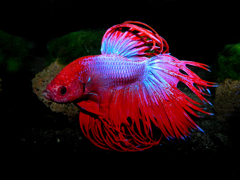 Картинка Рыбы Betta splendens красная животное Красный красные красных Животные
