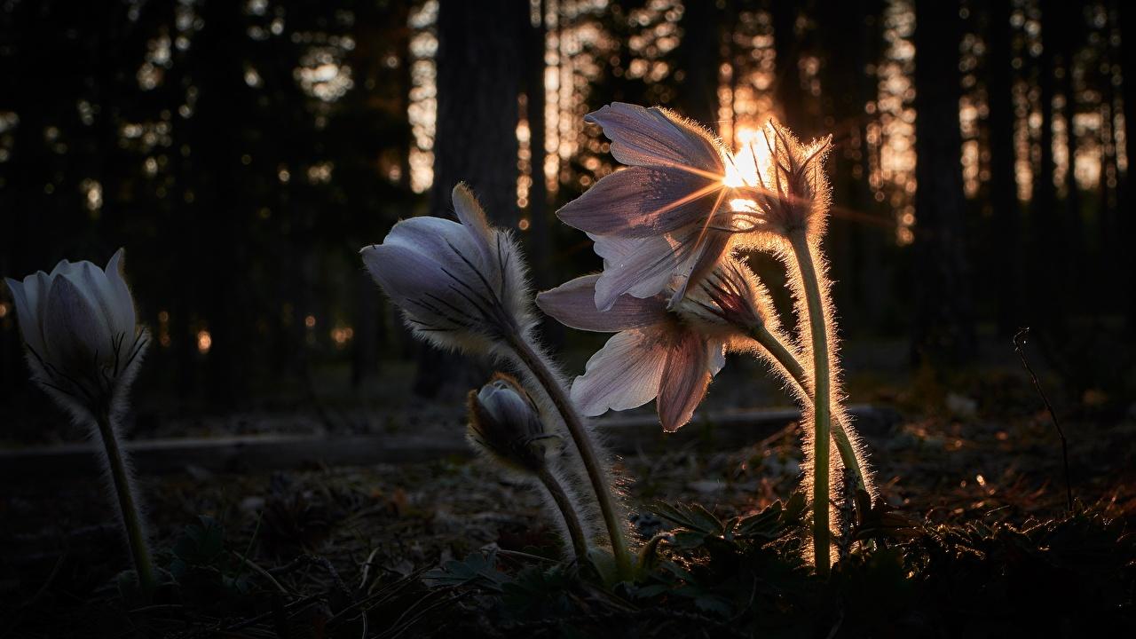 Фотографии Лучи света боке Цветы Прострел Вечер Размытый фон цветок