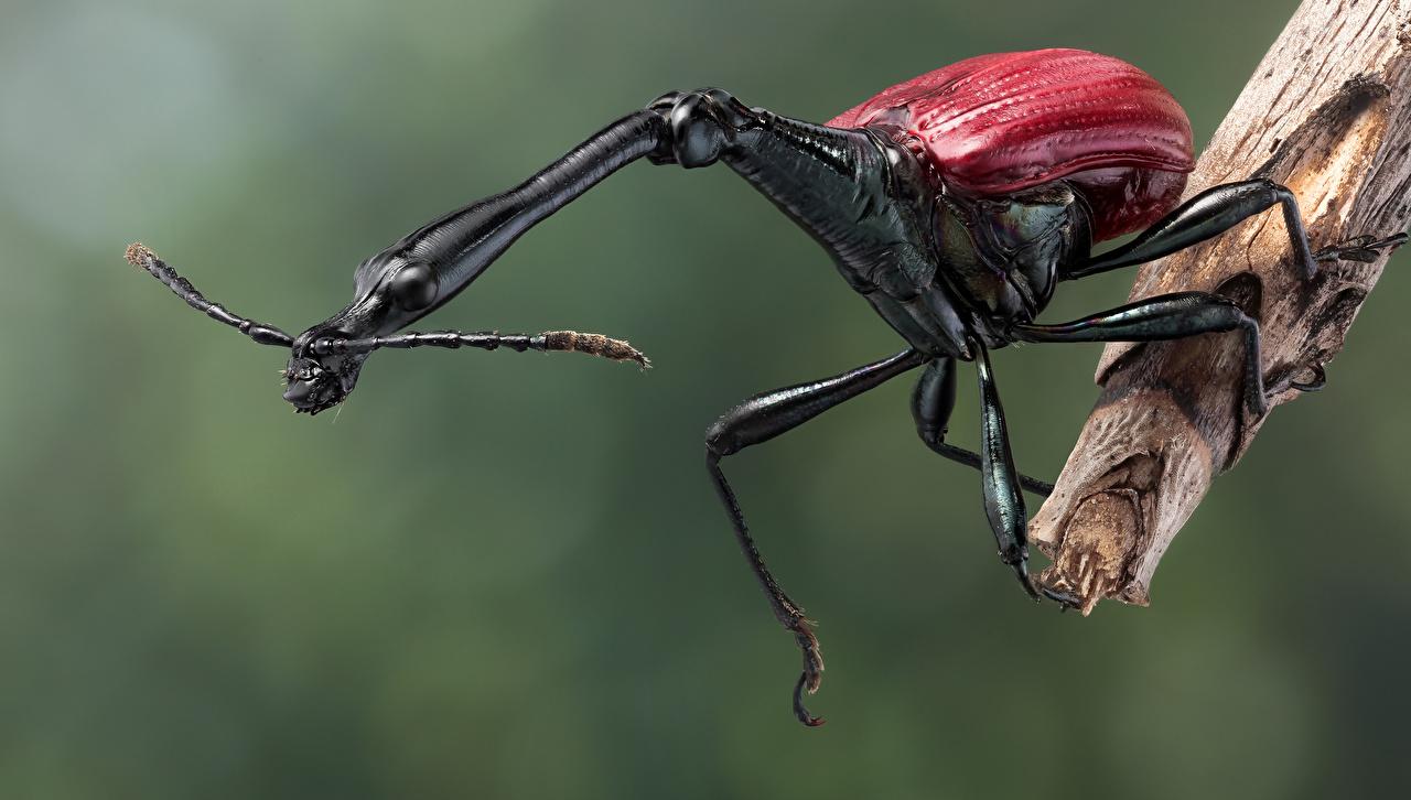 Фотография Жуки насекомое giraffe weevil вблизи Животные Насекомые животное Крупным планом