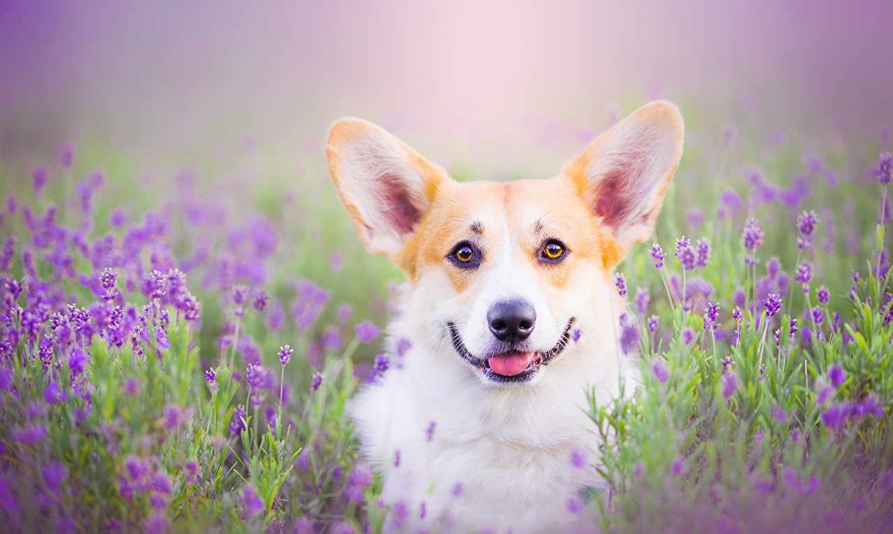 Картинка Вельш-корги собака Взгляд Животные Собаки смотрит смотрят животное