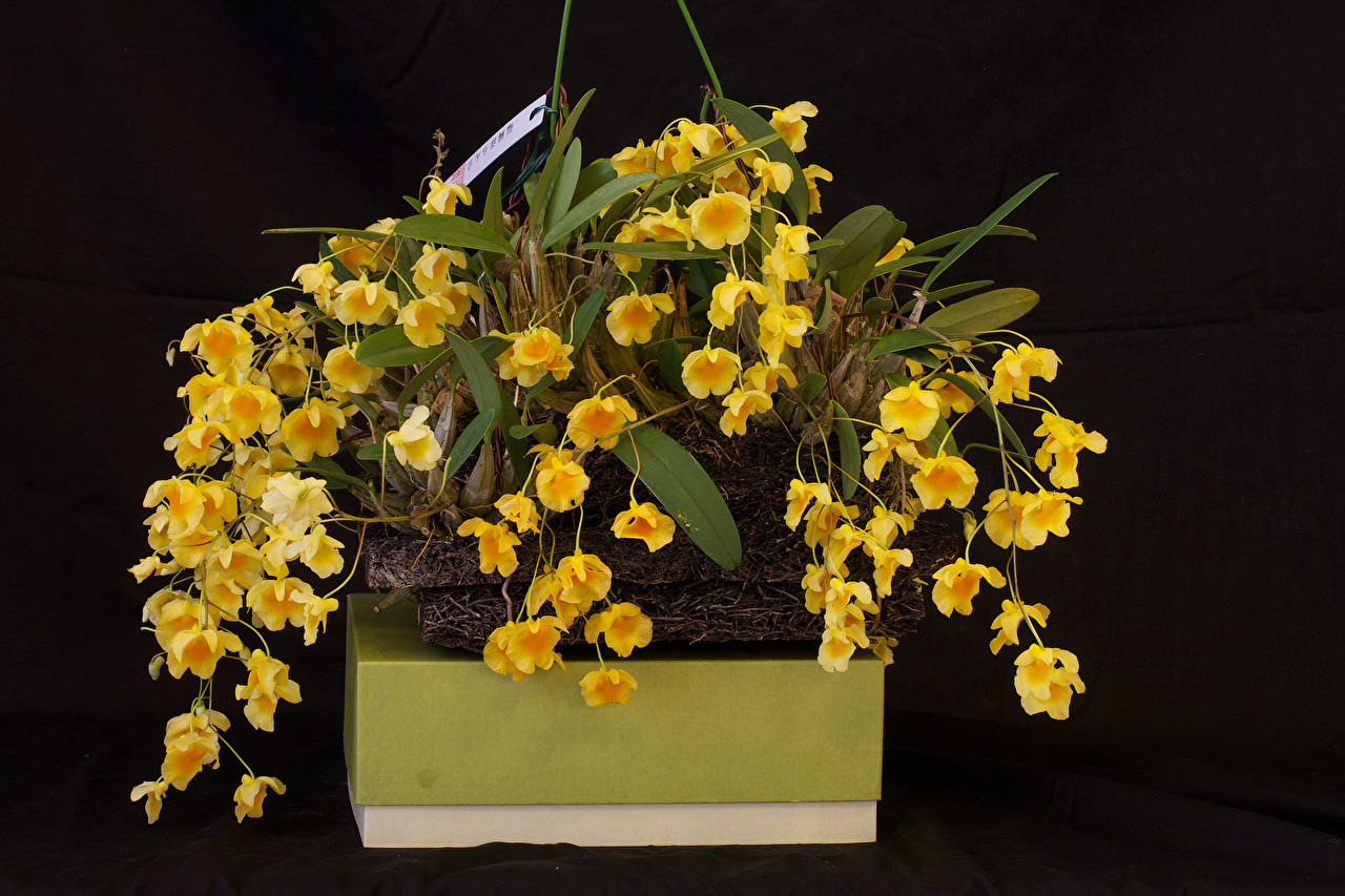Фотографии желтые орхидея цветок Черный фон желтых Желтый желтая Орхидеи Цветы на черном фоне