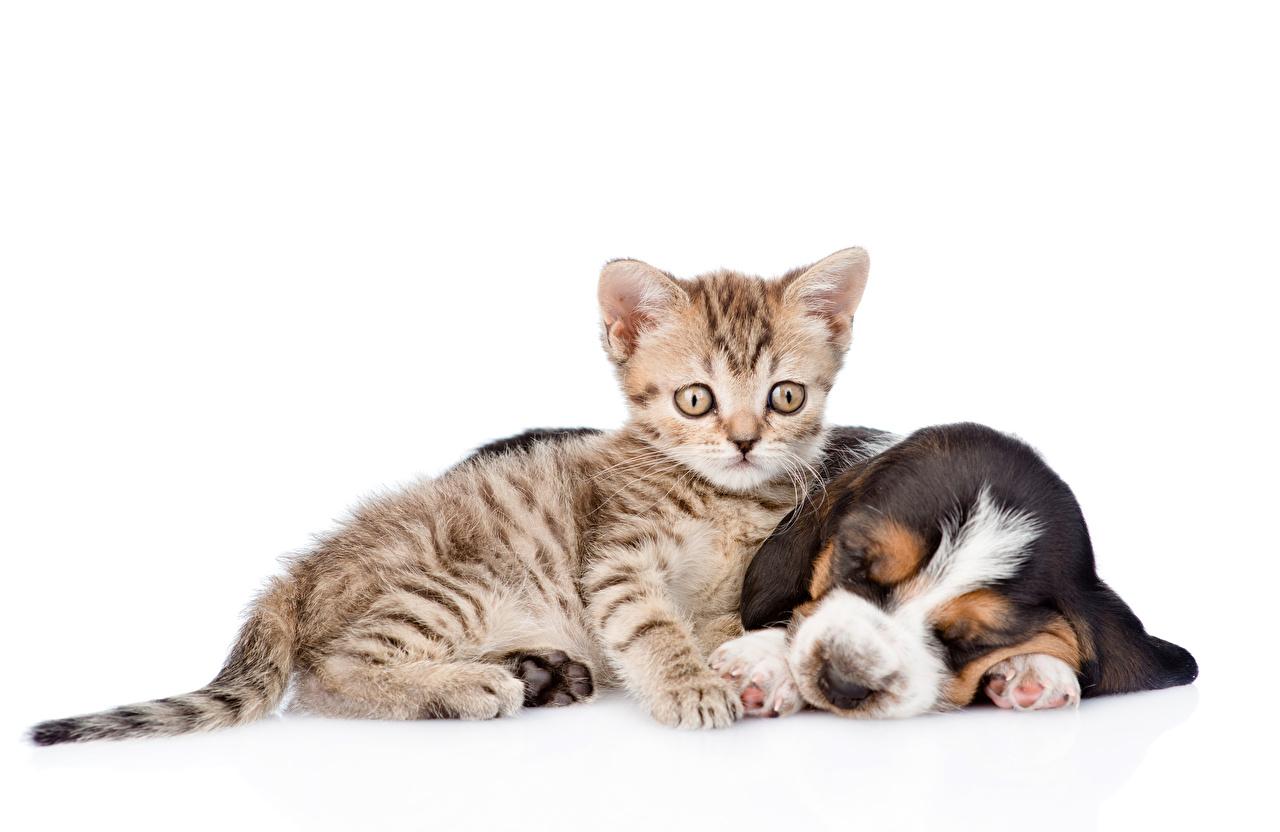Обои для рабочего стола котят щенки Бассет хаунд Кошки Собаки 2 Спит Животные Белый фон Щенок щенка Котята щенков котенок котенка кот коты кошка собака два две сон Двое спят вдвоем спящий животное белом фоне белым фоном