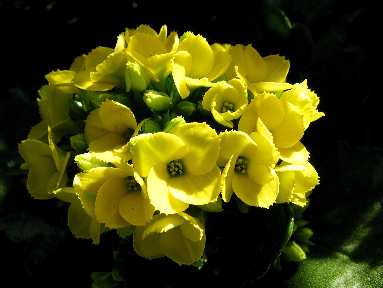 Картинка Желтый Цветы Каланхое вблизи желтая желтые желтых цветок Крупным планом