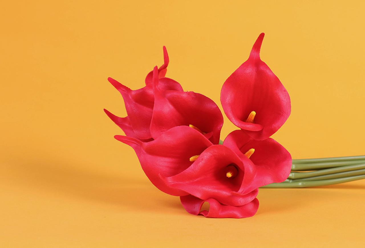 Фотография Каллы Красный Цветы Крупным планом Цветной фон красные красная красных белокрыльник цветок вблизи