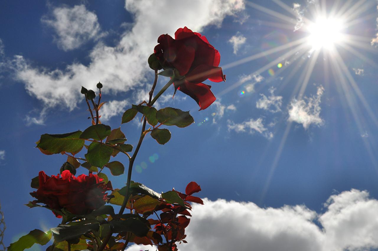 Обои Розы Солнце Бордовый Небо Цветы