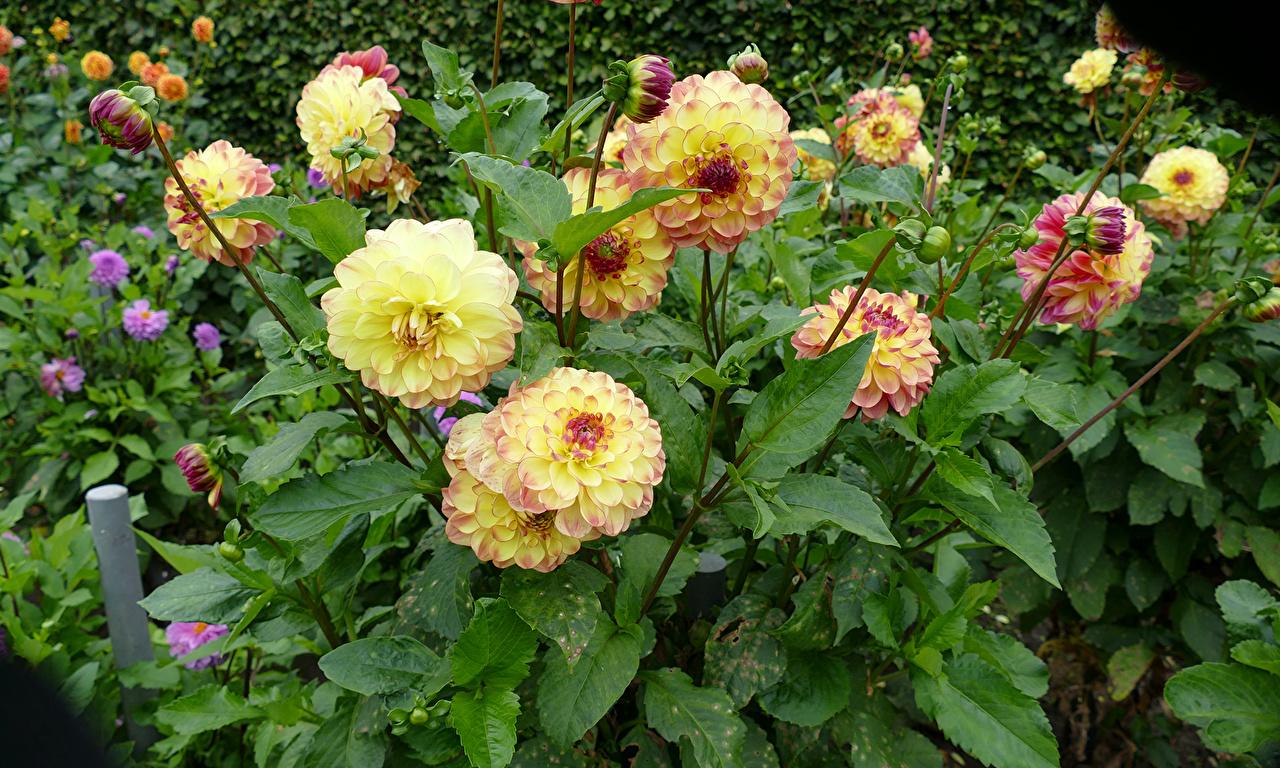 Фотографии желтых Цветы Георгины Бутон Желтый желтые желтая цветок
