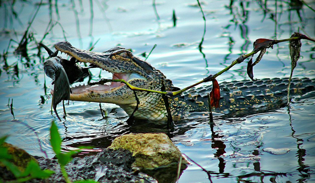 Картинка Рыбы Крокодилы воде Животные крокодил Вода животное