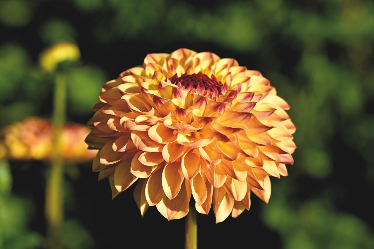 Фотографии боке желтых Цветы Георгины вблизи Размытый фон желтая желтые Желтый цветок Крупным планом