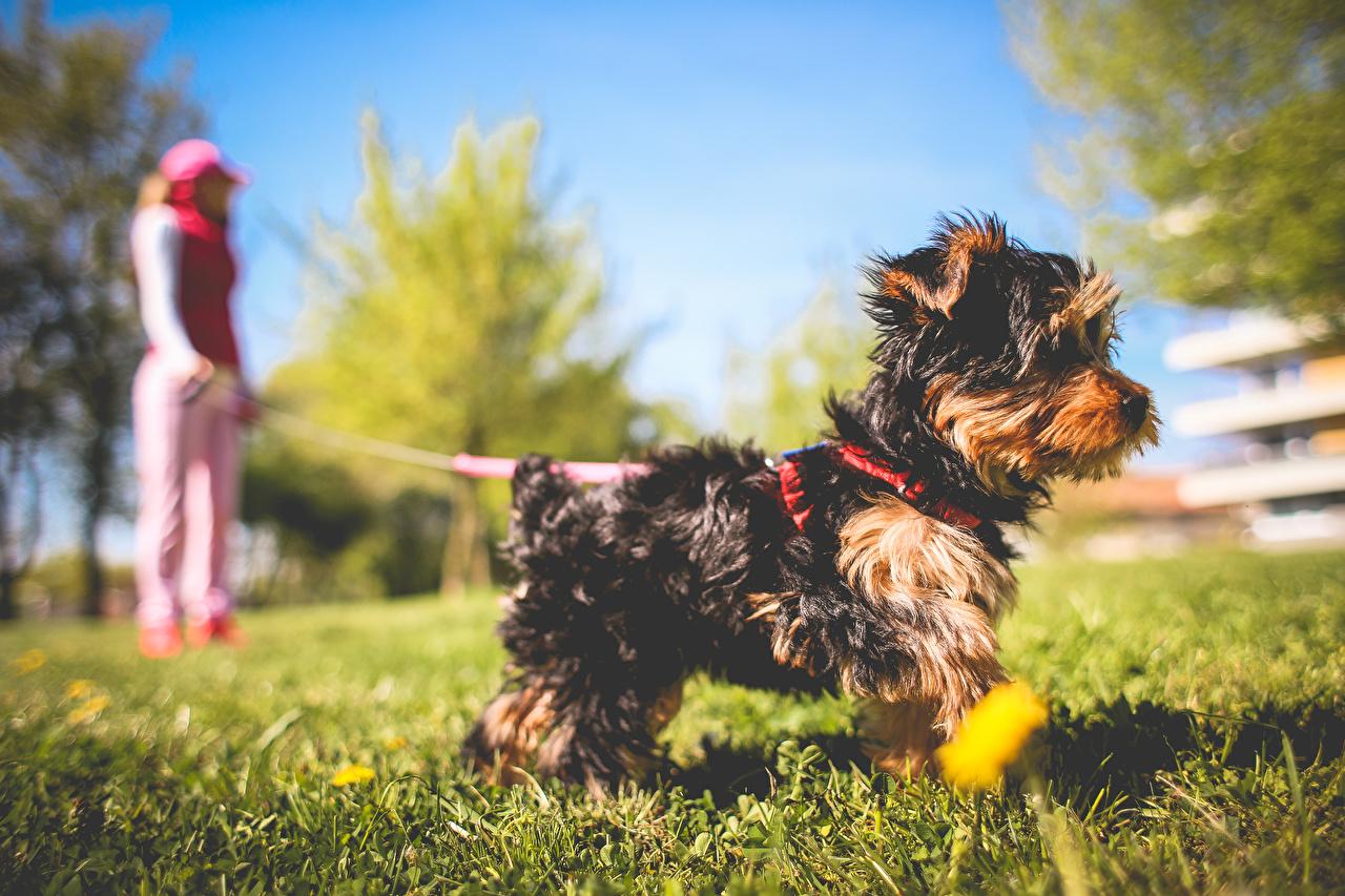 Фотографии Йоркширский терьер собака боке Трава животное Собаки Размытый фон траве Животные