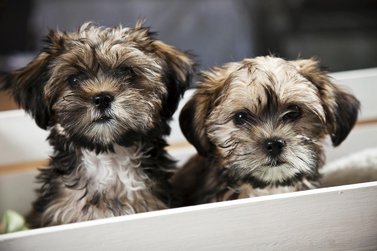 Фотография Шпиц щенка собака два животное Щенок шпица щенки шпицев щенков Собаки 2 две Двое вдвоем Животные
