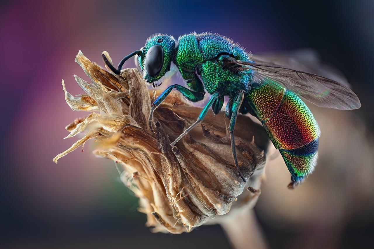 Фотографии Оса Насекомые Stilbum cyanurum вблизи животное осы насекомое Животные Крупным планом